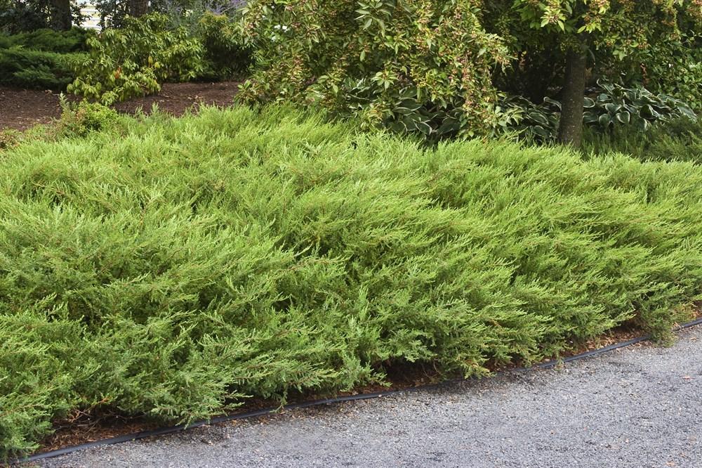 Низкорослый можжевельник (19 фото): стелющийся можжевельник и другие карликовые виды и сорта. как посадить низкие сорта в домашних условиях?