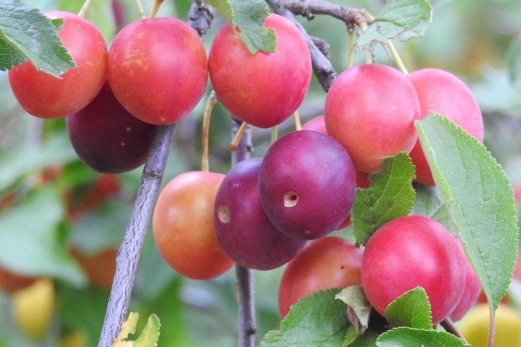 Алыча найдёна — описание и выращивание