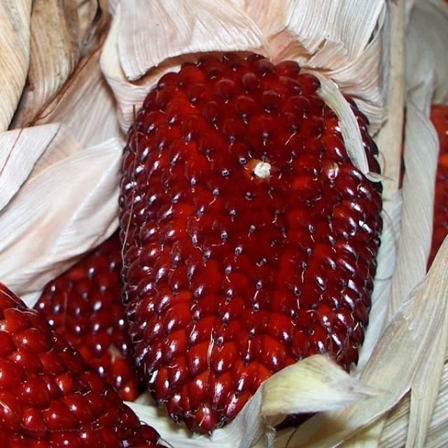 Правильная посадка семян сахарной кукурузы в открытый грунт в 2020 году