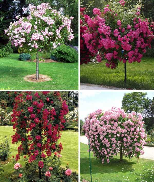 Плетистые розы: сорта, фото, посадка и уход в открытом грунте
