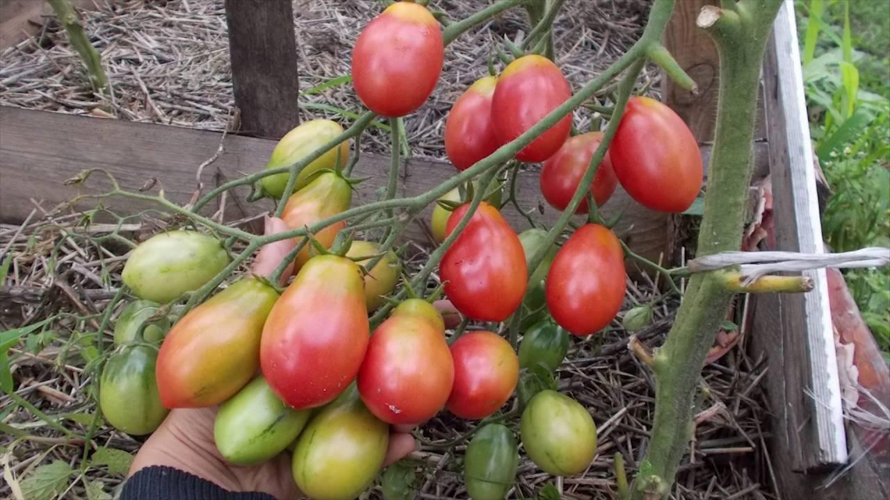 Особенности выращивания, характеристика и описание сорта помидор чио чио сан