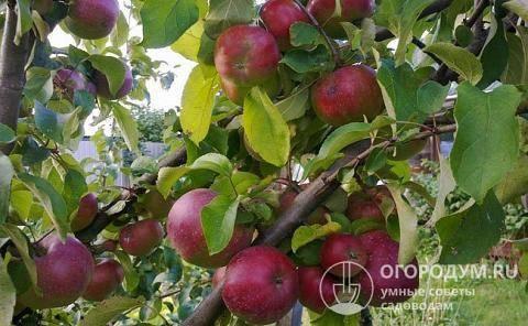 Особенности посадки и ухода за яблоней сорта кандиль орловский