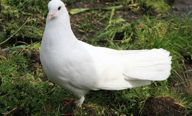Бакинские бойные голуби: мраморные, широкохвостые и других виды бакинцев