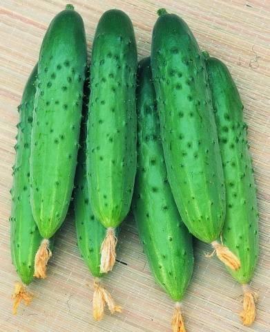 Огурцы зозуля: выращивание в теплице