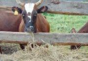 Переломы костей у коров