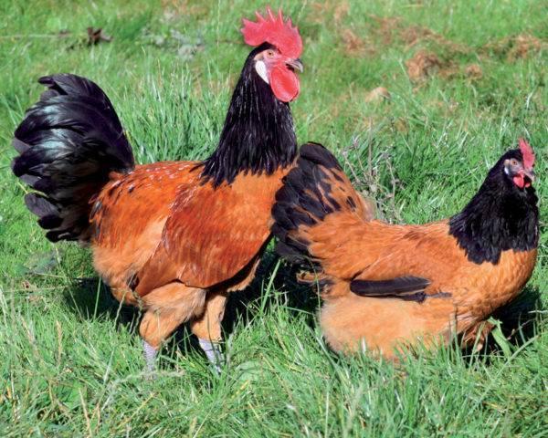 Красивые куры с замечательными качествами — порода форверк