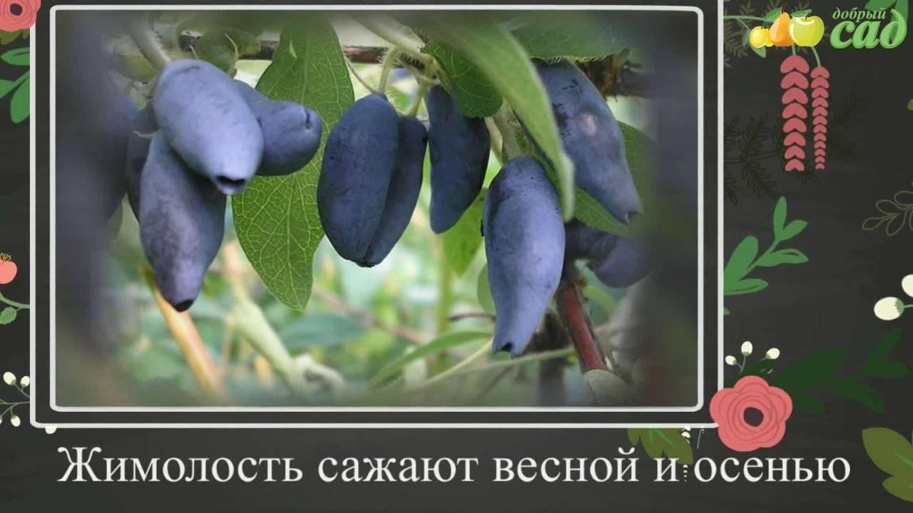 Как выращивать жимолость на даче — советы от опытных садоводов
