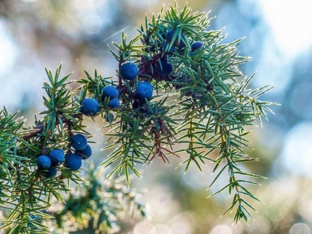 Как посадить можжевельник в открытый грунт и в дальнейшем ухаживать: правила выращивая