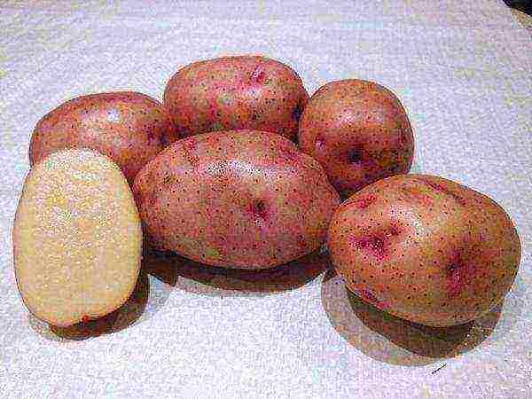 Картофель «ласунок»: характеристика, агротехника выращивания