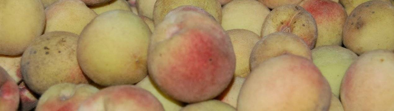 Сорта персиков: донской морозоустойчивый, глория, белый лебедь, кремлевский, ветеран
