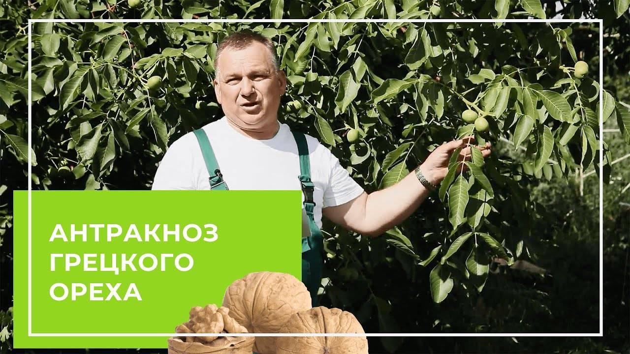 Используем листья грецкого ореха как удобрение