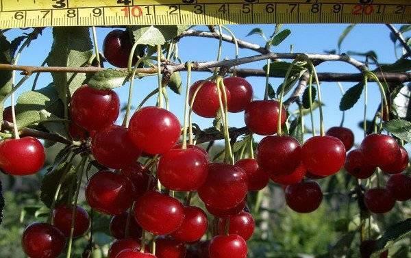 Вишня щедрая: описание сорта и фото, характеристики и особенности выращивания