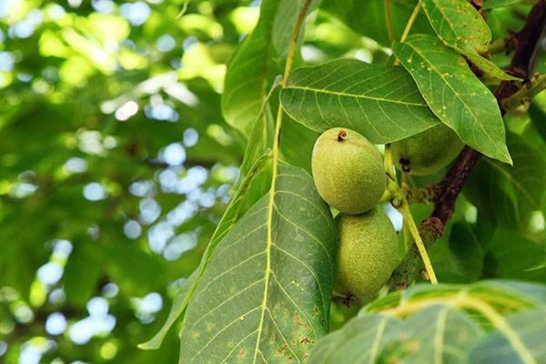 Лечебные свойства листьев грецкого ореха в рецептах народной медицины
