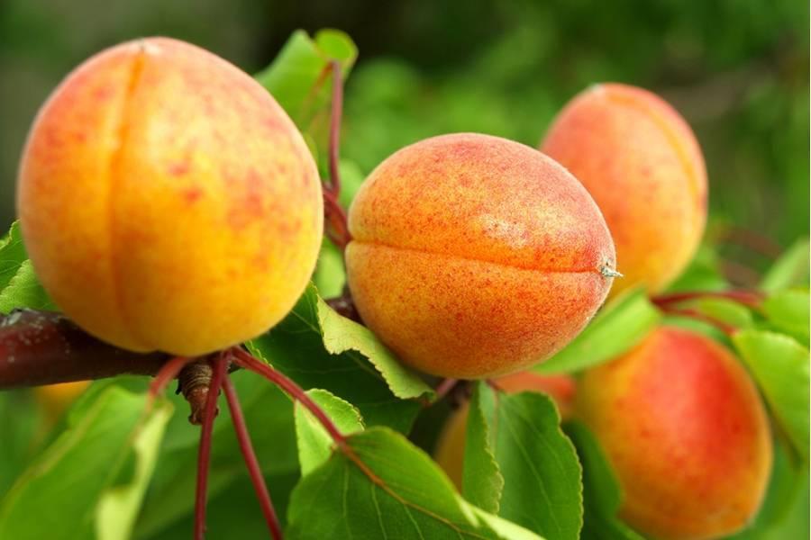 Описание 11 лучших зимостойких сортов абрикосов для урала, посадка и уход