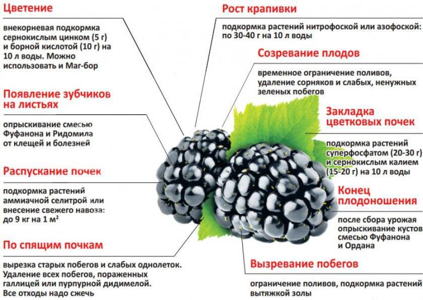 Сорта ежевики: разновидности, особенности выращивания