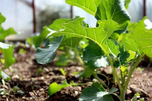 Капуста брокколи – выращивание и уход
