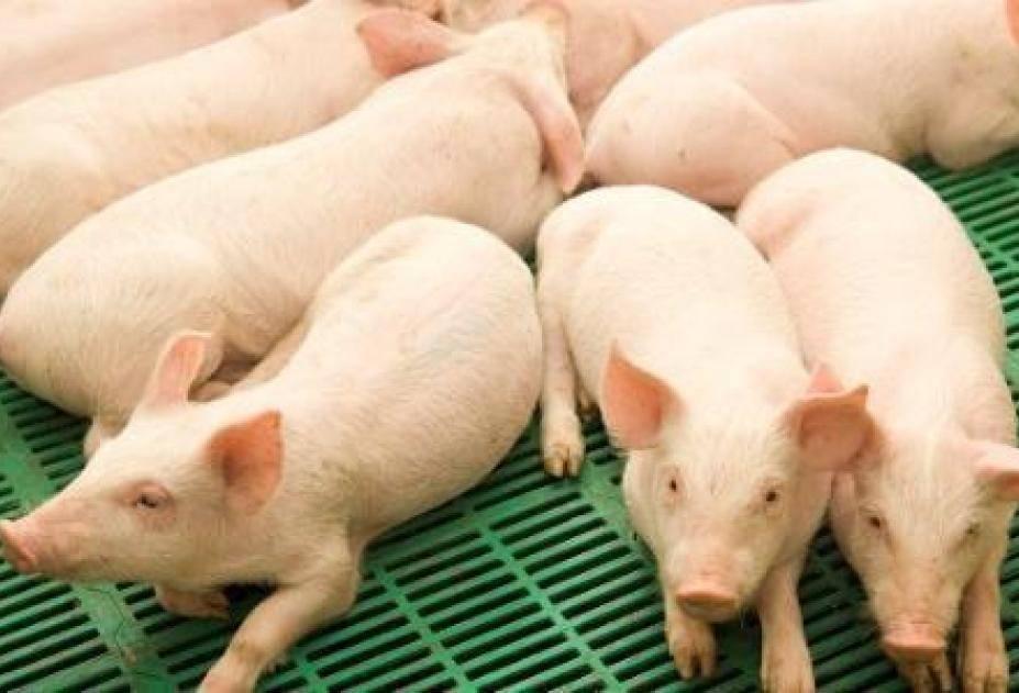 Оспа свиней: признаки, диагноз, иммунитет, профилактика и ликвидация заболевания. | ветеринарная служба владимирской области