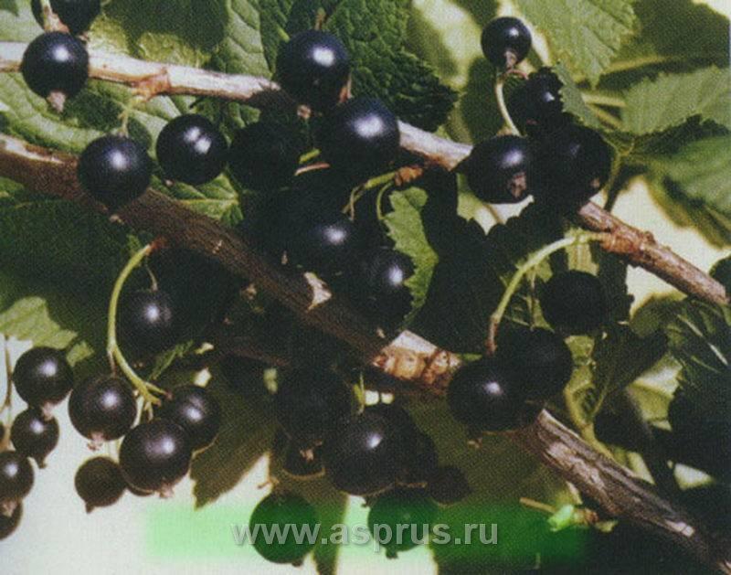Смородина: посадка и уход, обрезка и размножение