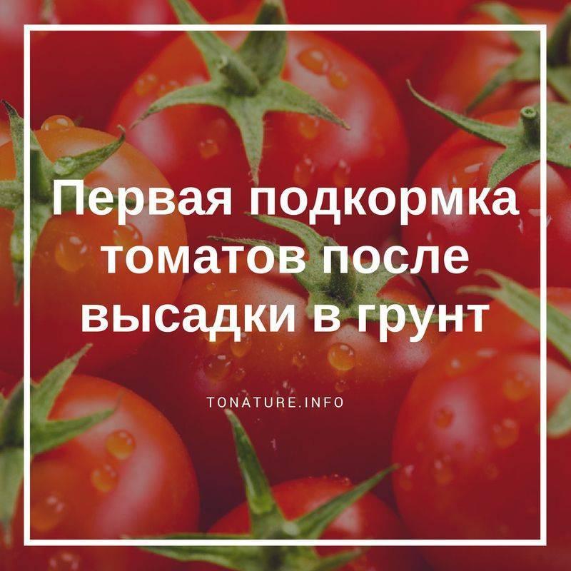 Чем подкормить помидоры после высадки в грунт: удобрение томатов