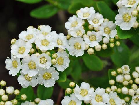 Спирея карликовая: сорта, выбор, выращивание и размножение