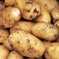 Картофель невский: растим высокоурожайную культуру правильно