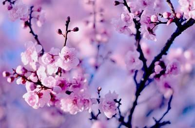Прививка вишни на вишню весной и летом