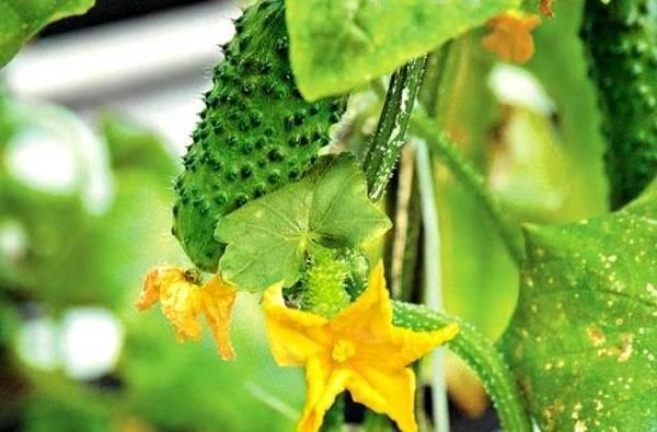 Сажаем огурцы семенами в открытый грунт: сроки в 2020 году, правила посева и выращивания