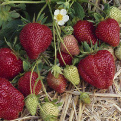 Клубника дарселект: описание сорта, особенности выращивания, отзывы