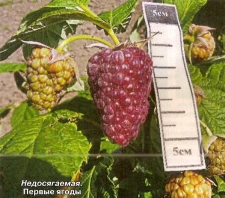 Малина: сорта для сибири - общая информация - 2020