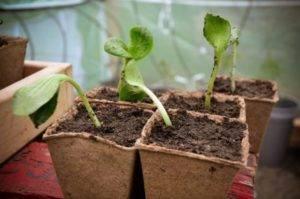 Дыня гуляби – 5 основных разновидностей и советы по выращиванию
