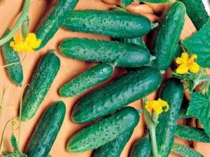 Гибрид огурцов «китайский фермерский f1»: фото, видео, описание, посадка, характеристика, урожайность, отзывы