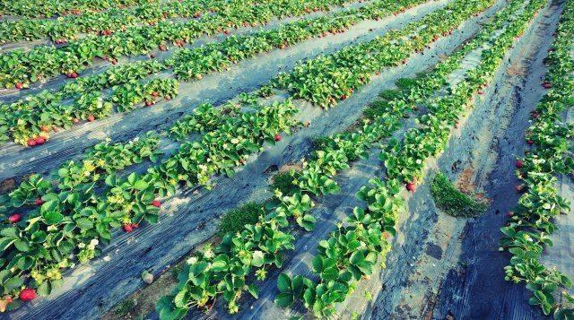 Выращивание клубники по финской технологии на поднятых грядках