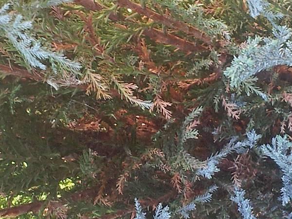 Можжевельник обыкновенный «хиберника»: описание и советы по выращиванию