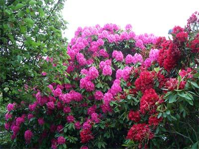 Садовый рододендрон: посадка, уход и условия выращивания в открытом грунте, описание видов и сортов