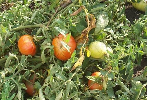 Как избавиться от белокрылки на томатах в теплице: методы и способы борьбы, средства для обработки томатных кустов от вредителя