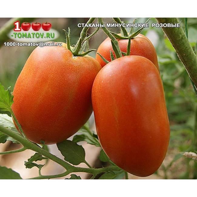 Cорта «минусинских» томатов