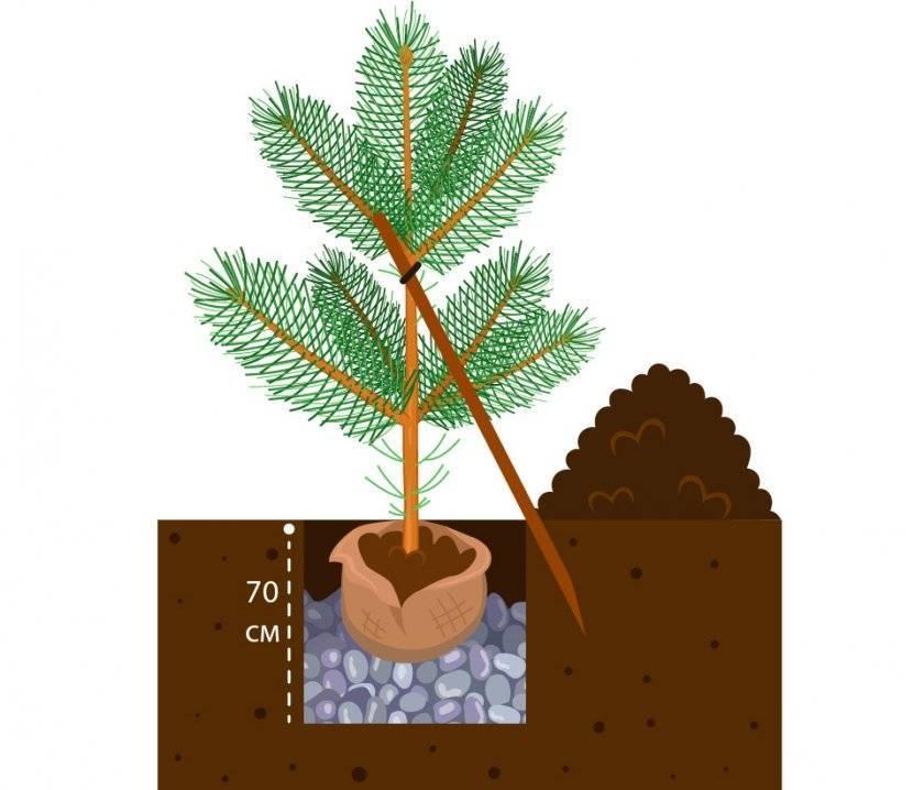Как вырастить сосну из семян – советы от опытных лесоводов фото, видео