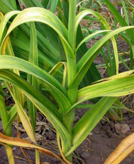 Особенности и правила выращивания семейного чесночного лука рокамболь