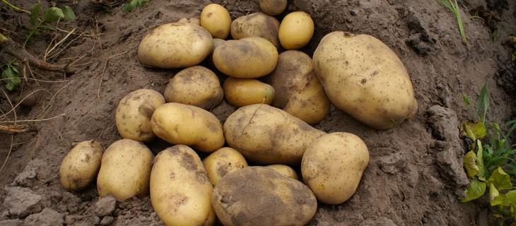 Сорт картофеля уладар. описание и характеристики