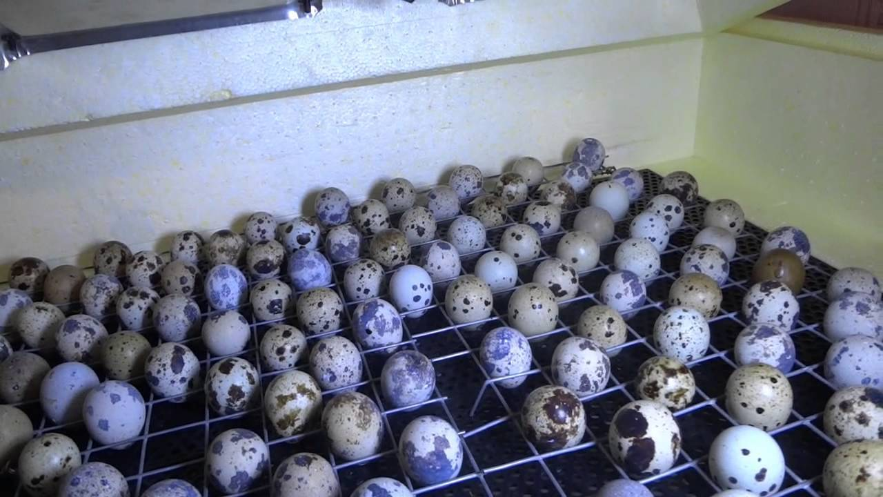 Инкубация перепелиных яиц в домашних условиях: режим выведения, таблица