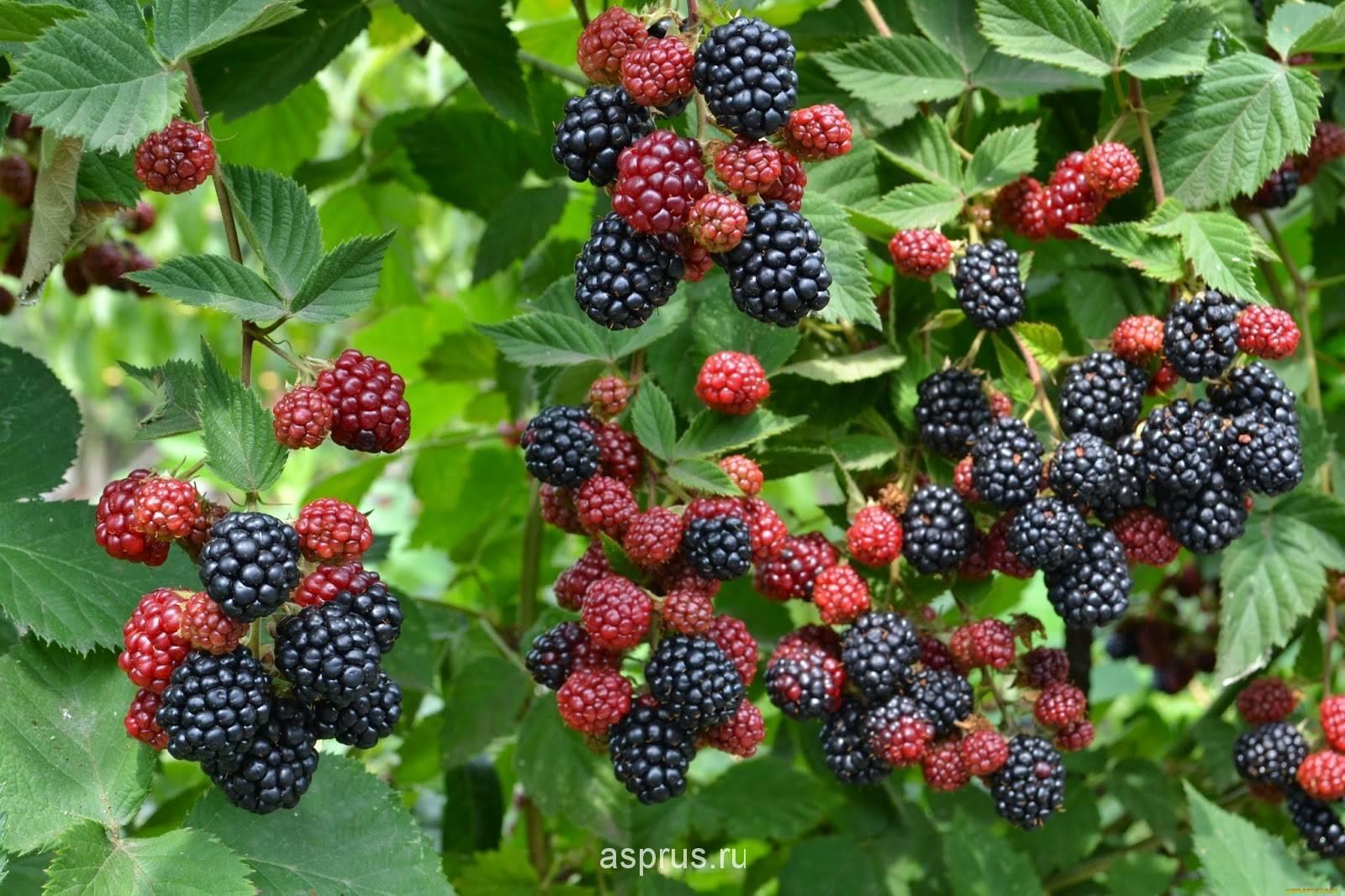 Характеристика и особенности выращивания ежевики аучита (оачита, уошито)