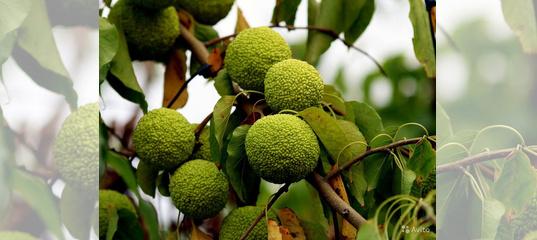 Маклюра или адамово яблоко. описание, особенности, свойства и рецепты из маклюры