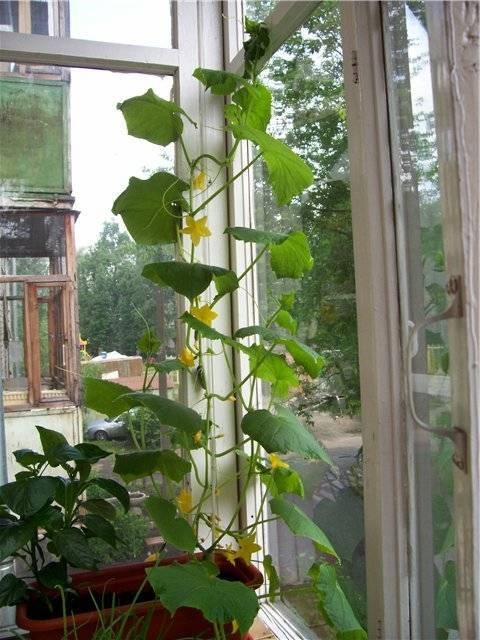 Огурцы на лоджии выращивание