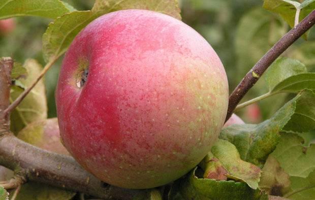 Сорт яблони коваленковское: характеристика и особенности посадки