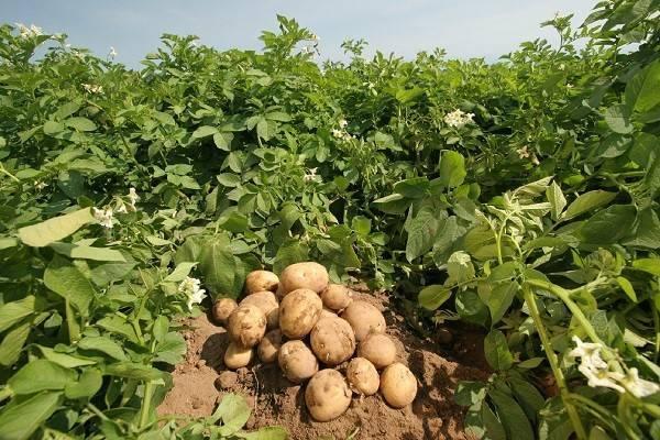 Картофель «гранада»: особенности выращивания и уход