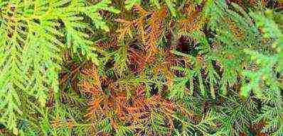 Туя рейнголд — описание, посадка и выращивание