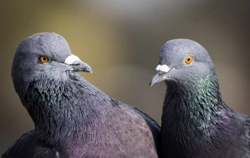 Сколько живут голуби