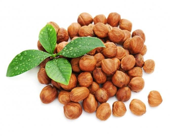 Выращивание кедра из орешка в домашних условиях