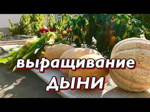 Почему спелый арбуз может горчить