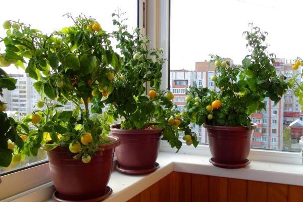 Огород на подоконнике или балконе: все о том, как вырастить помидоры черри в домашних условиях